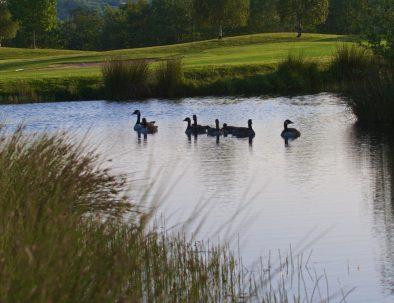 18th geese on lake