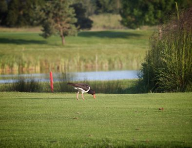 18th lake oyster catcher